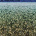 今年も麦畑で金がとれる。 #麦畑 #麦秋
